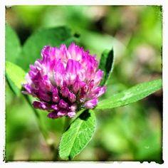 in diretta dal giardino: trifoglio rosso (trifolium pratense) Buongiorno giardinieri! #giardino #giardinoindiretta #fiori
