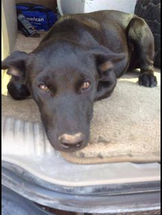 ~~Transport needed from Odessa to Tahoka~~This girl has a forever home in Lubbock. Donna can meet transport in Tahoka and take to Lubbock, if someone can transport her from Odessa to Tahoka. This is an hour and a half transport that will change her life. Anyone?