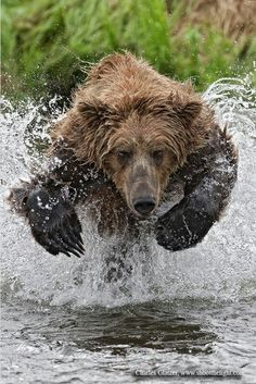 Amazing picture of a bear going in for a fish.