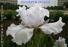 Iris SHARPER IMAGE | Stout Gardens at Dancingtree