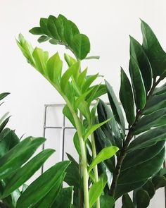 New growth 💚 Happy Saturday plant lovers!   #heartandfrond #livingwithplants #zamifolia