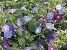 Morning Glory Seeds * Mixed * Indigo, Maroon, White and Mauve Blooms * 25 Seeds Climbing Vines, Green Garden, Mauve, Indigo, Art Projects, Seeds, Morning Glories, Plants, Yard