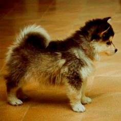 Pomsky - May have found our next dog! I want a little dog and our Roxi was a Husky/Chow. Too cute!