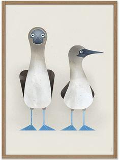Dieter Braun Blue-footed Boobies Poster