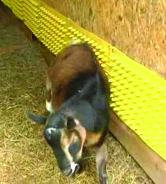 Goats love Itchin' Post too! It is great to add them to the inside of a barn as shown here. Click the link below to order yours!   http://itchinpost.com/order-online.html
