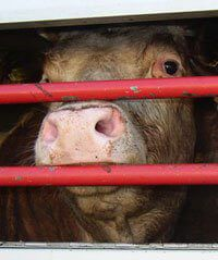 Cow Transport and Slaughter | Cows Used for Food | Factory Farming: Misery for Animals | The Issues | PETA