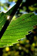 Leaf!