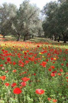 Splendidi ulivi del Salento...province of Lecce Puglia region Italy.                             + looks like something I want to run threw. AW