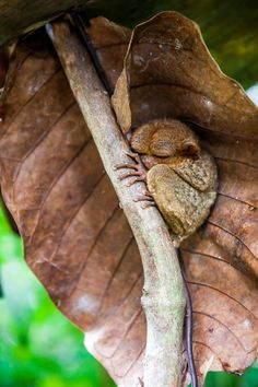 Photograph Rare Philippine Tarsier by Hans Van Kerckhoven on 500px