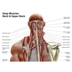 Human anatomy showing deep muscles in the neck and upper back Canvas Art - Stocktrek Images (17 x 12)