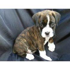 boxer puppies reverse brindle | Zoe Fans Blog