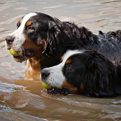 Returning from a tennis ball mission with great success! #dogs #pets #BerneseMountaindogs Facebook.com/sodoggonefunny