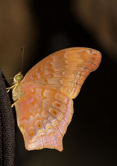 The Malayan Assyrian Butterfly