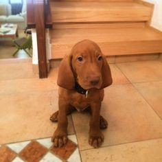 Say hello to Chase. My 2 months old Vizsla puppy.