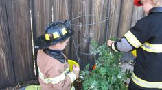 """Little Firefighters"" harvesting peas in the  Preschool garden"