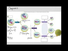 Learning aims what you should already know introduction delving spermatogenesis and oogenesis youtube ccuart Choice Image