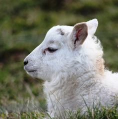Lamb, deep in thought...