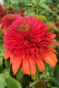 Echinacea 'Double Scoop Orangeberry'  Sunrise is selling this new variety of Echinacea for $6.99 in a 2.5 quart pot.