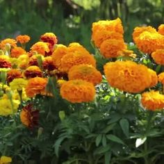 How to Control Pests & Disease for Marigolds