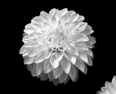 Dahlia, Brookside Gardens, Imagination IMG_7383 A  Photograph by Roy Kelley using a Canon PowerShot G11 camera.  Roy and Dolores Kelley Photographs