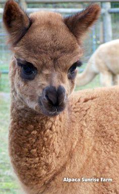 HUACAYA CRIA. Alpaca Sunrise Farm is a full-service Alpaca farm since 1998 • Alpaca sales • breeding • boarding • Alpaca raw fiber, yarn, roving sales for knitters, crocheters, weavers and fiber artists. www.AlpacaSunrise... #alpaca #alpacas Novelty Items, Novelty Gifts, Sunrise Farm, Animals And Pets, Cute Animals, Novelty Handbags, Llama Gifts, Cute Llama, Llama Alpaca