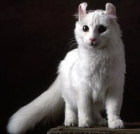 Does this cat breed fit your lifestyle. American Curl. There are numerous Rescues & Shelters that have plenty of cats looking for their forever home.