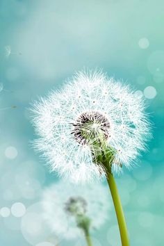 "Search Results for ""galaxy note 3 lock screen wallpaper hd"" – Adorable Wallpapers Dandelion Wallpaper, Flower Wallpaper, Wallpaper Backgrounds, Wallpaper Ideas, Mobile Wallpaper, Blowing Dandelion, Dandelion Wish, Dandelion Flower, Samsung Lock Screen Wallpaper"