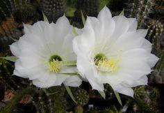 Echinopsis brasiliensis