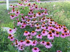 Purple Coneflower (Echinacea purpurea)    Full sun, drought tolerant    medicinal uses