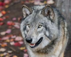 Fall Colours: Gray Wolf (Canis lupus)byDoug Griffith (Source: 500px.com)