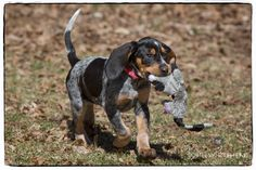 Bluetick coonhound puppy with her first coon.