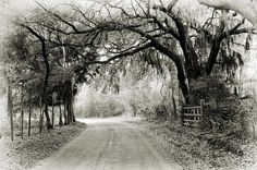 Seabrook, SC The live oaks drape across the road adorned with Spanish moss.