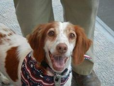 Tilly is an adoptable Brittany Spaniel Dog in North, VA. Tilly came to TBR originally from a shelter in Va. She got adopted but had to be returned due to change in family life.She was named after a b...