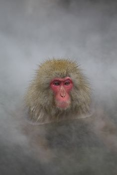 Snow Monkeys live in Jigokudani,Nagano prefecture.