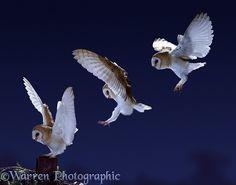Barn Owl alighting multiple image