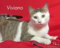 Viviano has been adopted! Sweet Viviano came to us as a nursing kitten with him mom and siblings. They had been found in an alley behind a restaurant with cars whizzing past, and a variety of other hazards for a little family. The adorable little kitten has grown into such a handsome fella and now has a family of his own.
