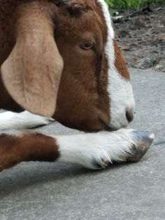 Smelly goat foot! Lol