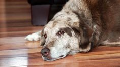 What are Dog Pheromones and What Do They Do?