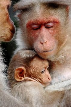 This is an amazing picture, The photo itself is exceptionally sharp and detailed. The sweet bond between Mom and Baby is beautifully portrayed. Recommend looking at it in large size. Animals Of The World, Animals And Pets, Baby Animals, Cute Animals, Wild Animals, Primates, Beautiful Creatures, Animals Beautiful, Tier Fotos