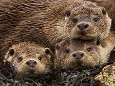 Otters pile up for a photo - May 17, 2015