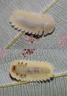 Trilobite Beetle | Trilobite-looking leaf beetle larva - a photo on Flickriver