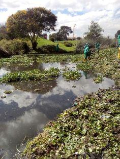 Así trabaja Aguas de Bogotá SA ESP la empresa del posconflicto en el humedal Juan Amarillo. Retira el material vegetal que cubre el espejo de agua para garantizar las condiciones ecológicas del sistema hídrico.
