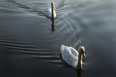 Swans on the Avon River Stratford, Ontario Stratford Ontario, Morning Light, Swans, Avon, Writers, Photo And Video, Sign Writer, Author, Authors