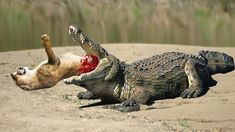 Lion vs Alligator Real Fight | Lion Attack Discovery Channel 2016 | Anidis