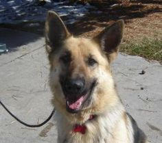 Widget is an adoptable German Shepherd Dog Dog in Denver, CO.   Please complete our online  Adoption Application . It is the first step toward bringing home your new family member. Keep in mind when...