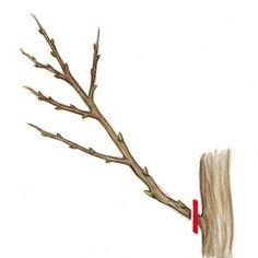 Couper les gourmands près de la branche principale