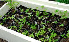 Propagation, Cuttings, Skott, Succulents, Gardening, Farming, Nature, Garden Ideas, Flowers