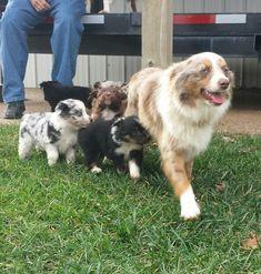 Aussie Shepherd, Australian Shepherd Puppies, Aussie Puppies, Australian Cattle Dog, Cute Puppies, Cute Dogs, Dogs And Puppies, Australian Shepherds, Doggies