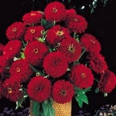 Pase Seeds - Zinnia Benary Giant Deep Red Annual Seeds, $3.29 (http://www.paseseeds.com/zinnia-benary-giant-deep-red-annual-seeds/)