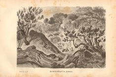 1877 Termite Mounds in Africa Original by CabinetOfTreasures